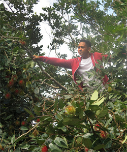 A member of the Rotary Community Corps Calawis harvests rambutan.