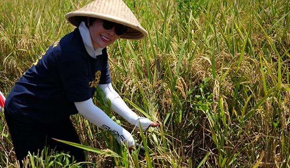 Eva harvests paddy field